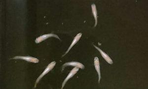 天の川メダカの若魚