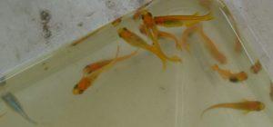 第1のリスクヘッジ水槽の若魚
