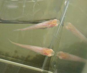 天の川メダカ F2 のアルビノ個体