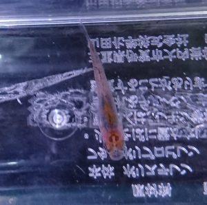 錦メダカ F2 ②