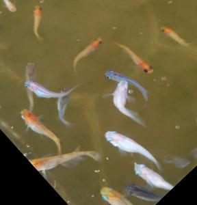 「2018年の繁殖シーズン序盤戦の親魚のミックス水槽」