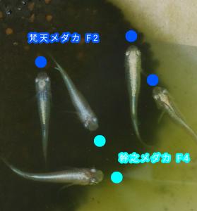 梵天メダカ F2 と幹之メダカ F4