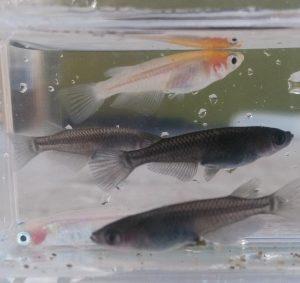 「2018年の繁殖シーズン終盤戦の親魚のミックス水槽」②