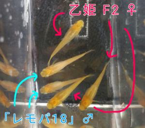 乙姫メダカ F2 と「レモンパイ18」メダカ ①