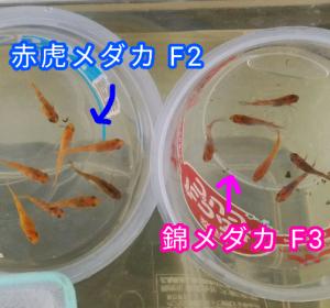 錦メダカ F3 と赤虎メダカ F2