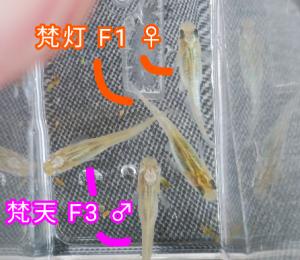 梵天メダカ F3 &梵灯メダカ F1