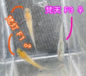 梵灯メダカ F1 &梵天メダカ F3