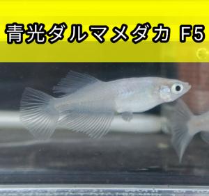青光ダルマメダカ F5
