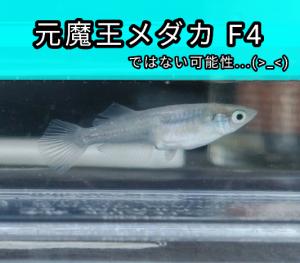 元魔王メダカ F4
