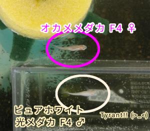 ピュアホワイト光メダカ F4 &オカメメダカ F4