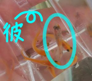 白斑ラメメダカ&楊貴妃パンダメダカ F5 ①