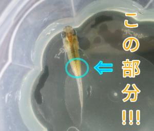 梵灯メダカ P ①