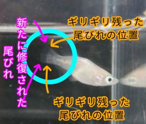 ピュアホワイト光メダカ F4