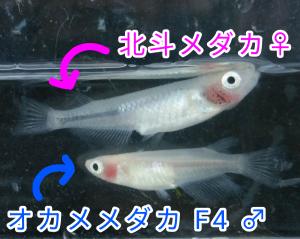 オカメメダカ F4 &北斗メダカ ②