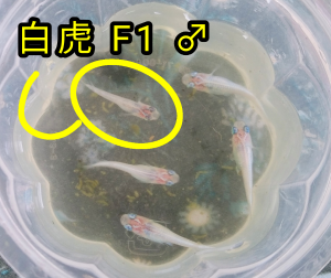 白虎メダカ F1 & 幹之メダカ F6
