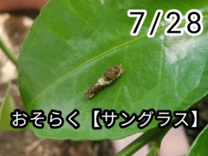 アゲハチョウ004