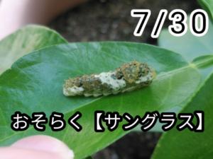 アゲハチョウ007
