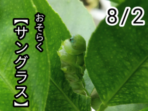 アゲハチョウ010