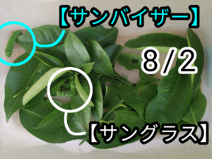 アゲハチョウ012