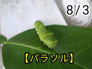 アゲハチョウ019