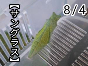 アゲハチョウ020