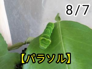 アゲハチョウ023