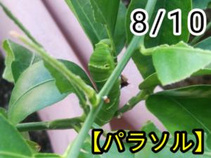 アゲハチョウ024