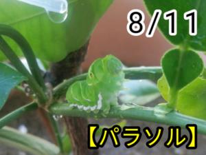 アゲハチョウ025