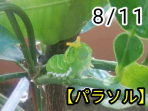 アゲハチョウ026