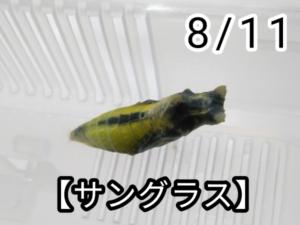 アゲハチョウ027