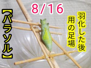 アゲハチョウ033