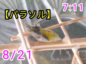 アゲハチョウ034