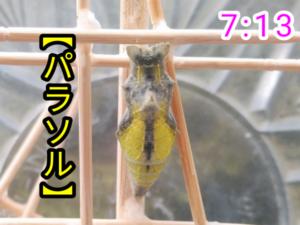 アゲハチョウ036