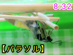 アゲハチョウ040