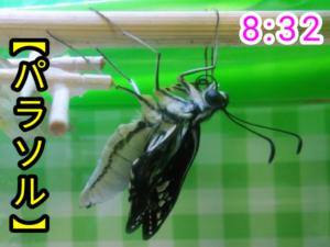 アゲハチョウ042