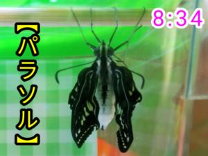 アゲハチョウ044