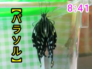アゲハチョウ050