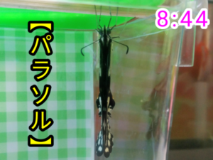 アゲハチョウ052