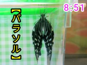 アゲハチョウ053