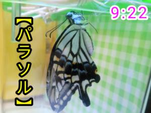 アゲハチョウ056