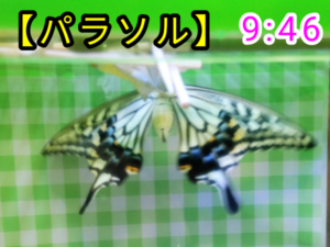 アゲハチョウ058