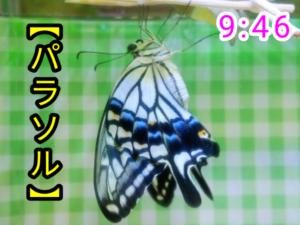 アゲハチョウ059