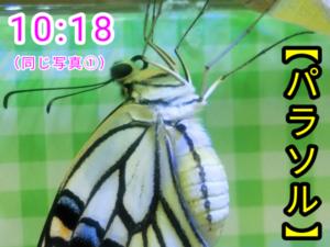 アゲハチョウ061