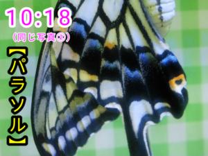 アゲハチョウ062