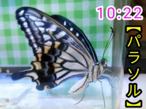 アゲハチョウ064