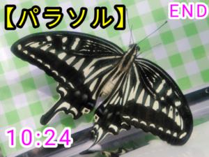 アゲハチョウ065