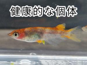 健康的な個体(錦メダカF2)
