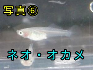 ネオ・オカメメダカ ②