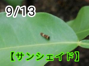 サンシェイド(アゲハチョウ)写真1