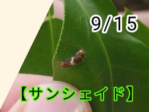 サンシェイド(アゲハチョウ)写真4